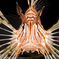 Buy canvas prints of radial Lionfish Pterois radiata by PhotoStock Israel