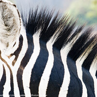 Buy canvas prints of Close up of a Zebra by PhotoStock Israel