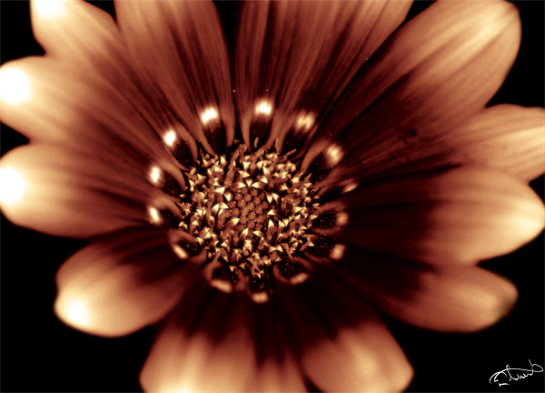 Fire Daisy Canvas Print by Rob Toombs