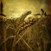 Buy canvas prints of Wheat Field by Sarah Couzens