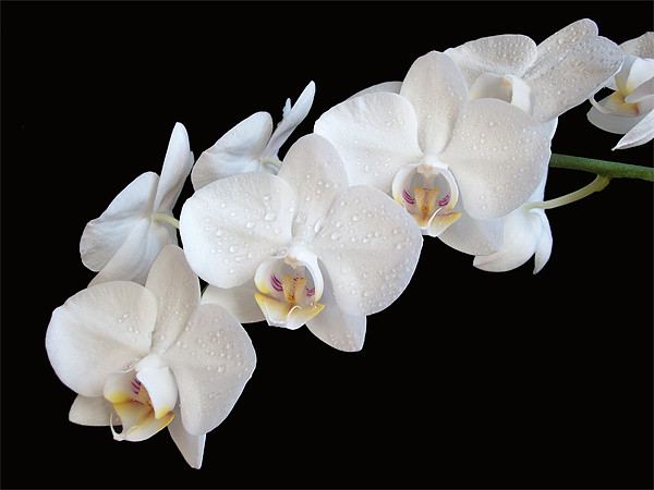 White Orchids Canvas print by Sarah Couzens