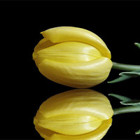 Buy canvas prints of Mirrored Tulip by Sarah Couzens