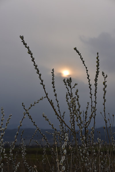 Willow buds in twilight Canvas print by Adrian Bud
