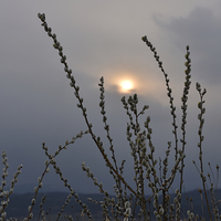 Buy canvas prints of Willow buds in twilight by Adrian Bud
