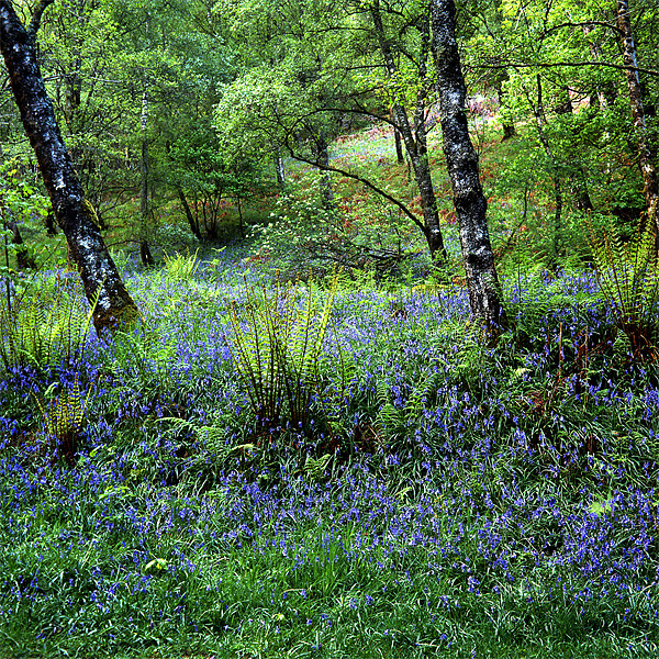 Bluebell Wood Canvas print by James Mc Quarrie