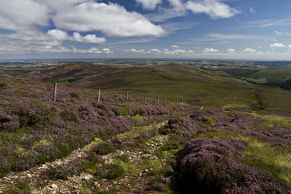 Heather in the Cheviots Canvas Print by Steve Wilson