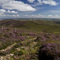 Buy canvas prints of  Heather in the Cheviots by Steve Wilson