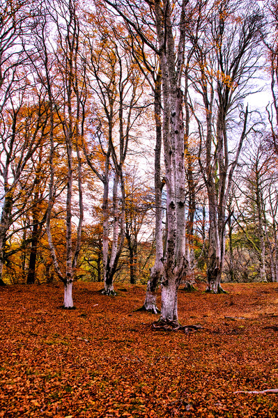 Autumn Trees in Cawdor Woods Framed Print by Jacqi Elmslie