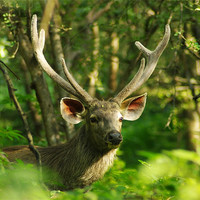 Buy canvas prints of Indian Sambar Stag by Jacqi Elmslie