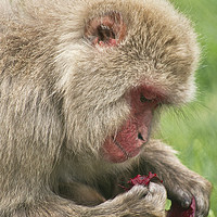 Buy canvas prints of Monkey Business by Jacqi Elmslie