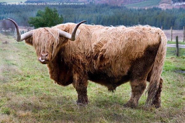 Cheeky Highland Bull Acrylic by Jacqi Elmslie