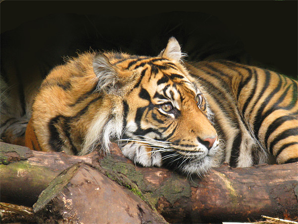 Resting Tiger Canvas print by James Buckle