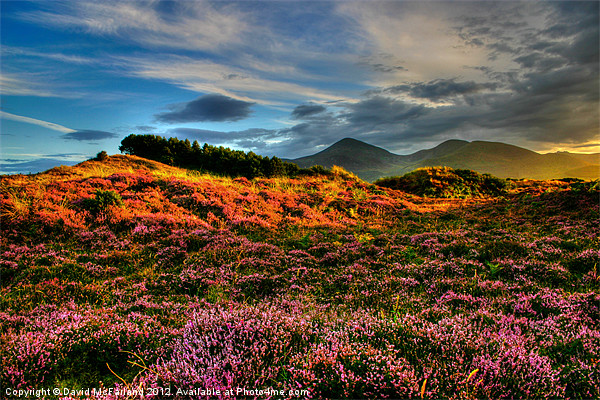 Blooming heather in the Mournes Canvas print by David McFarland
