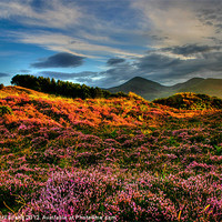 Buy canvas prints of Blooming heather in the Mournes by David McFarland