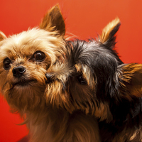 Buy canvas prints of Yorkie love by David McFarland