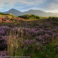 Buy canvas prints of Mournes heather by David McFarland