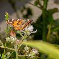 Buy canvas prints of Painted Lady by Brian Roscorla