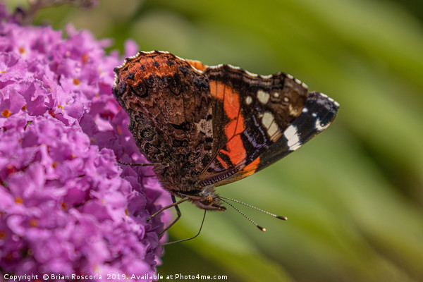 Red Admiral Canvas print by Brian Roscorla