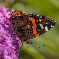 Buy canvas prints of Red Admiral by Brian Roscorla
