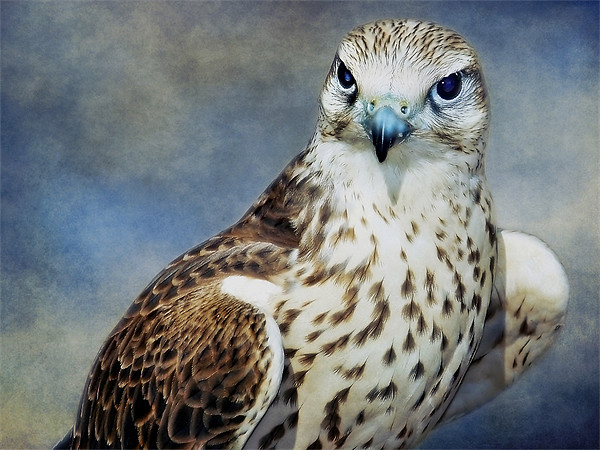 Saker Falcon Canvas print by Finan Fine Art Prints