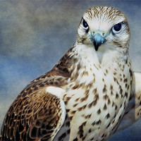 Buy canvas prints of Saker Falcon by Finan Fine Art Prints