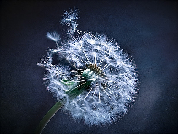 Dandelion Blues Canvas print by Finan Fine Art Prints