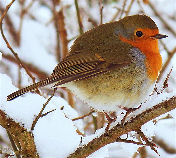 A Robin In The Snow. Canvas print by Finan Fine Art Prints