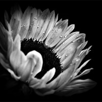 Buy canvas prints of Sunflower Droplets In BW by Finan Fine Art Prints
