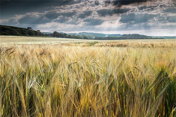 Field of Golden Barley Canvas print by Stephen Mole
