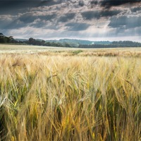 Buy canvas prints of Field of Golden Barley by Stephen Mole