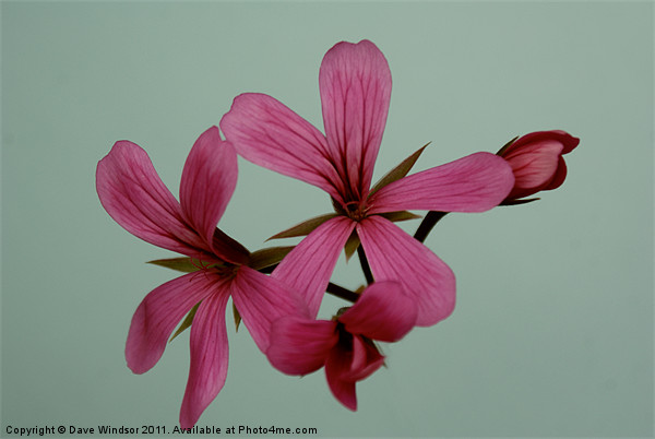Pink Flower Print by Dave Windsor