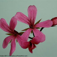 Buy canvas prints of Pink Flower by Dave Windsor