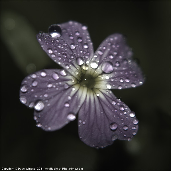 Water Soaked Flower Print by Dave Windsor
