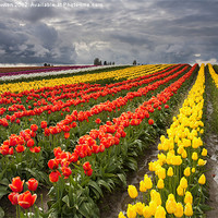 Buy canvas prints of Tulip Storm by Mike Dawson
