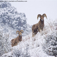 Buy canvas prints of Pair of Winter Rams by Mike Dawson