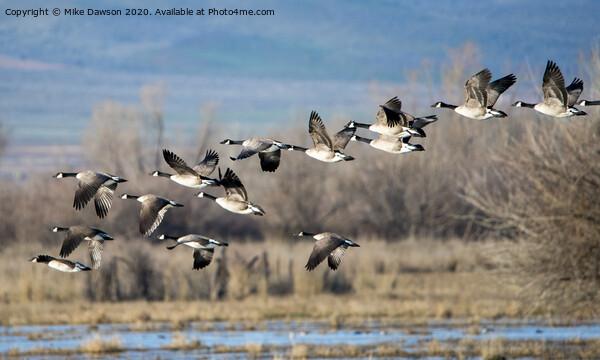 Canada  Geese Flock Print by Mike Dawson