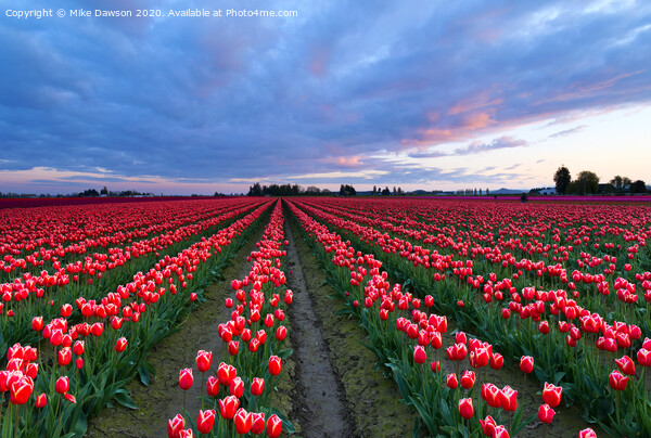 Red Sky over Tulips Print by Mike Dawson