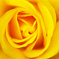 Buy canvas prints of yellow rose by rachael hardie
