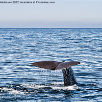 Buy canvas prints of Whale dive by Andreas Hartmann