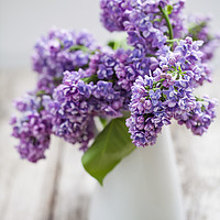 Buy canvas prints of Lilac by Magda Bujak