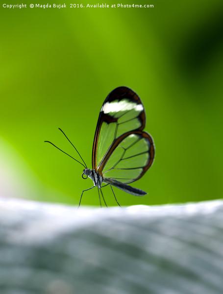 Glasswing butGlasswing butterfly - greta morgane o Canvas print by Magda Bujak
