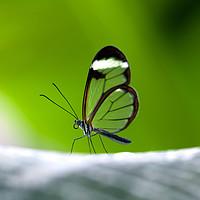 Buy canvas prints of Glasswing butGlasswing butterfly - greta morgane o by Magda Bujak