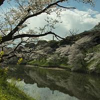 Buy canvas prints of Tokyo Castle Sakura by Rob Hawkins