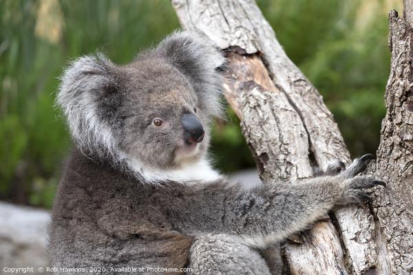 Portrait of a Koala Framed Mounted Print by Rob Hawkins