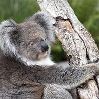 Buy canvas prints of Portrait of a Koala by Rob Hawkins