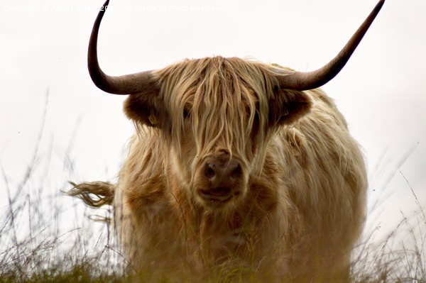 Exmoor Highland Cow Canvas print by Alexia Miles