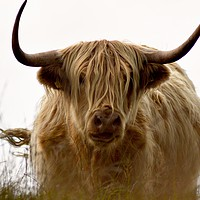 Buy canvas prints of Exmoor Highland Cow by Alexia Miles
