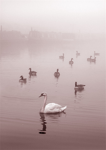 Swan & Ducks Canvas print by Mike Sherman Photography