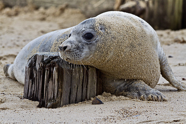 Seal Pup Chilling Canvas Print by Paul Macro