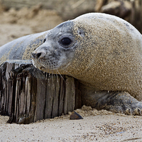 Buy canvas prints of Seal Pup Chilling by Paul Macro